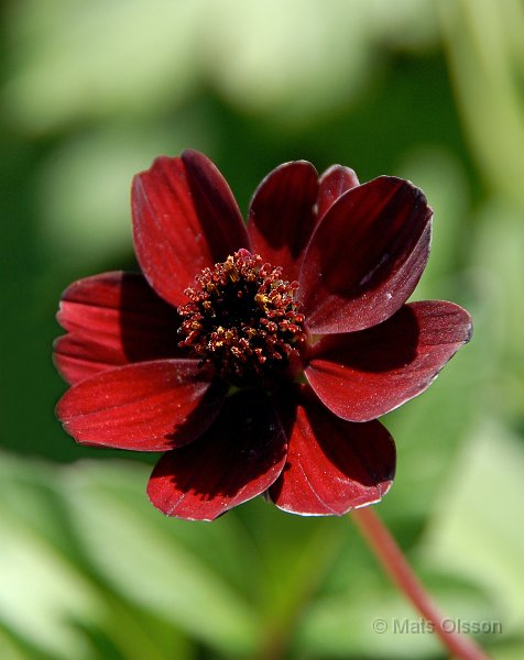 Chokladblomma 'Hot Chocolate', Cosmos atrosanguinea 'Hot Chocolate'